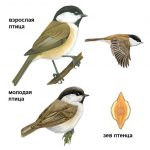 Птичка гаечка рисунок – Буроголовая гаичка: фото птицы пухляк.