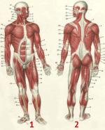 Рисунок мышц человека – Строение мышц человека — схема, фото