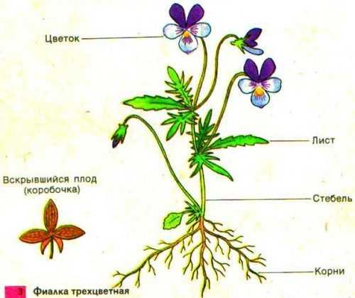 kak-narisovat-komnatnoe-rastenie-poetapno-detyam_55.jpg