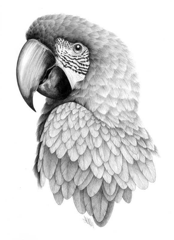 Саши днем, картинки попугаев для срисовки