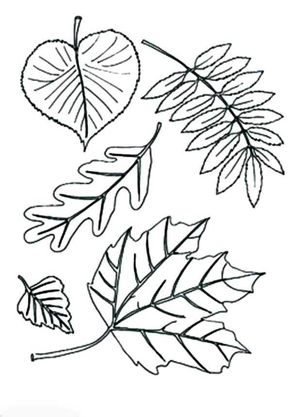 Листок березы раскраска – Раскраска листья деревьев ...