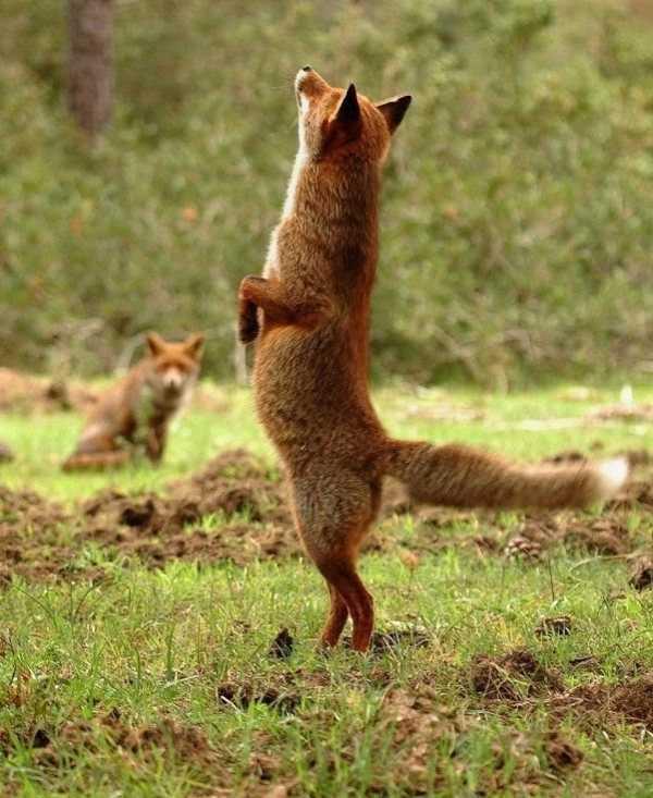 Прикольные картинки с изображением лисы